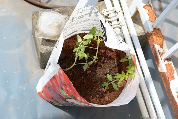 今年もトマトの苗とトマトの土を買って、家庭でトマトの栽培